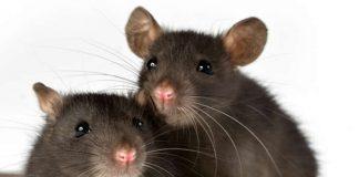 Lassa Fever Is More dangerous than corrona virus