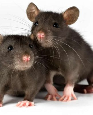 Lassa Fever Is More dangerous than corrona virus